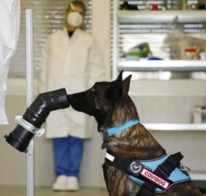 Uno dei cani addestrati al riconoscimento del Covid-19 su un tampone di sudore